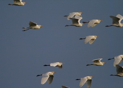 Cattle Egrets often feed in flocks [April; Sick Dog Ranch near Alice, Texas]