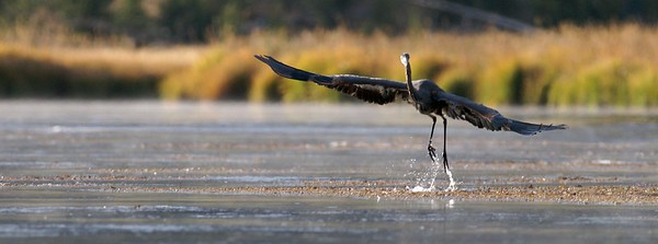 Fishing for the Great Blue Heron can mean catching not only fish, but also crayfish, snakes, frogs [September; Yellowstone National Park, Wyoming]
