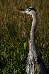 A Great Blue Heron stalks the shallows along the Anhinga Trail. [December; Everglades National Park, Florida]
