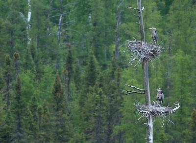 Great Blue Heron rookery near Island Lake, St. Louis County, Minnesota