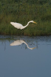 Great Egret casts a reflection [August; Sick Dog Ranch near Alice, Texas]
