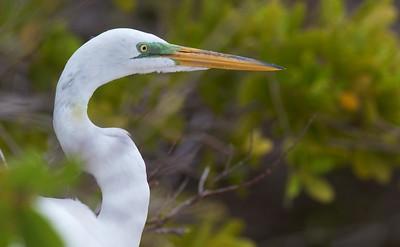 Great Egret Estero Beach Lagoon Ft  Myers Beach FL IMG_3834 CR2 (1)