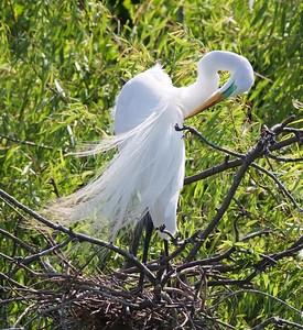 Great Egret breeding plumage TX IMG_7878