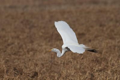 Great Egret near Rice Lake NWR along MN65 Aitkin Co MN IMG_6082