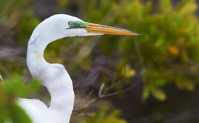 Great Egret Estero Beach Lagoon Ft  Myers Beach FL IMG_3834 CR2