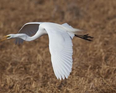 Great Egret near Rice Lake NWR along MN65 Aitkin Co MN IMG_6084