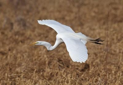 Great Egret near Rice Lake NWR along MN65 Aitkin Co MN IMG_6083