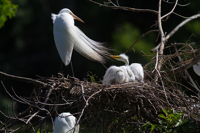 Great Egret Heron Rookery Grotto Lake Adams Park Fergus Falls Ottertail County MN West Central MN day trip June 12 2020 IMG_0466