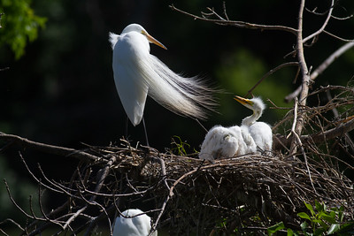 Great Egret Heron Rookery Grotto Lake Adams Park Fergus Falls Ottertail County MN West Central MN day trip June 12 2020 IMG_0465