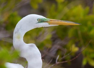 Great Egret Estero Beach Lagoon Ft  Myers Beach FL IMG_3838 CR2 (1)