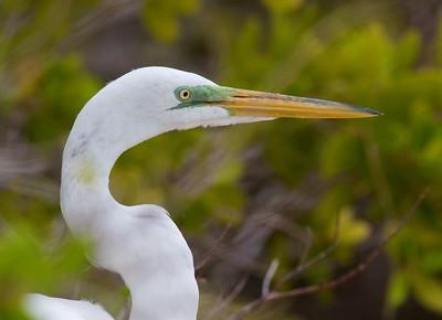 Great Egret Estero Lagoon FL IMG_3838