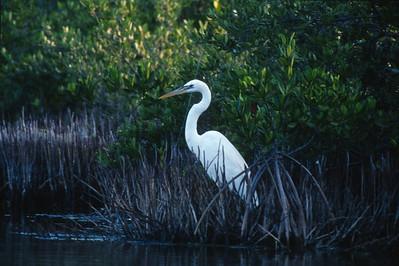 Great White Heron Florida Everglades bird SLIDE SCAN 11