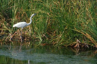Great White Heron Florida Everglades bird SLIDE SCAN 3