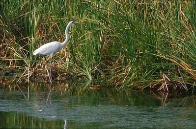Great White Heron Florida Everglades bird SLIDE SCAN 10