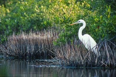 Great White Heron Florida Everglades bird SLIDE SCAN 2