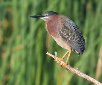 Green Heron [April; Krenmueller Farms, Lower Rio Grande Valley, Texas]