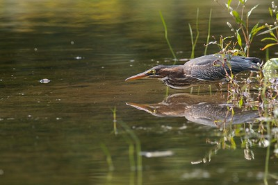 Green Herons wait patiently along pond edges for minnows and frogs to happen by...And when they do they strike with lightning speed [August; Rock Pond, UMD, Duluth, MInnesota]