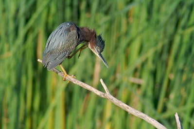 Green Heron scratches [April; Krenmueller Farms, Lower Rio Grande Valley, Texas]