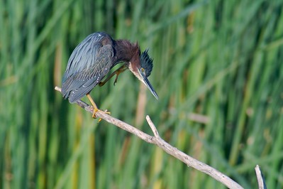 Green Heron scratches[April; Krenmueller Farms, Lower Rio Grande Valley, Texas]