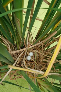 Least Bittern at nest[April; Krenmueller Farms, Lower Rio Grande Valley, Texas]