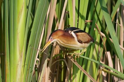 Least Bittern near nest in resaca cattails [April; Krenmueller Farms, Lower Rio Grande Valley, Texas]