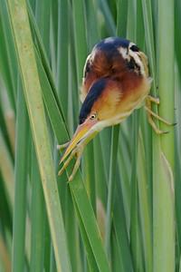 Least Bittern at nest [April; Krenmueller Farms, Lower Rio Grande Valley, Texas]