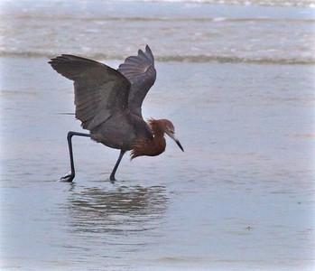 Reddish Egret Estero Beach Lagoon Ft  Myers Beach FL IMG_4355 CR2
