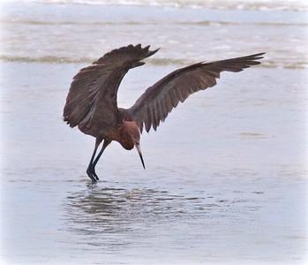 Reddish Egret Estero Beach Lagoon Ft  Myers Beach FL IMG_4356 CR2
