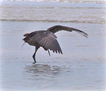 Reddish Egret Estero Beach Lagoon Ft  Myers Beach FL IMG_4357 CR2