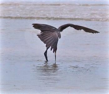 Reddish Egret Estero Beach Lagoon Ft  Myers Beach FL IMG_4358 CR2