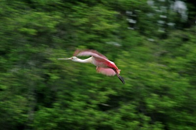 Roseate Spoonbills are exotic birds; Their large size, pink color and spoon-shaped bill make them fantastic photo subjects [April; High Island Rookery, Texas]