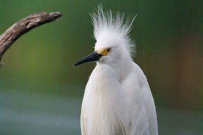 Snowy Egret preening and fluffing[April; Krenmueller Farms, Lower Rio Grande Valley, Texas]