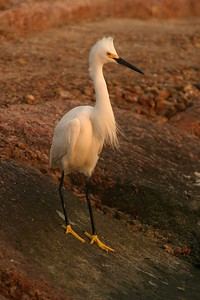The big yellow feet of the Snowy Egret are a give-away as to this birds identity [April; Galveston, Texas]