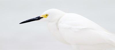 Snowy Egret Estero Beach Lagoon Ft  Myers Beach FL IMG_3824 CR2
