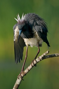 A preening Tricolored Heron shakes out its feathers [April; Krenmueller Farms, Lower Rio Grande Valley, Texas]
