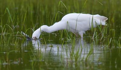 White Ibis Estero Beach Lagoon Ft  Myers Beach FL IMG_4310 CR2