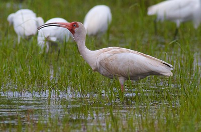 White Ibis Estero Beach Lagoon Ft  Myers Beach FL IMG_4313 CR2