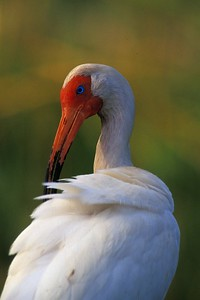Look at the blue eyes of this stunning White Ibis [April; Everglades National Park, Florida]