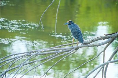 Yellow-crowned Night-Heron Sabal Palm Sanctuary Brownsville TX SLIDE SCAN BIRDS-20