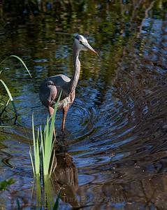 Great Blue Heron - Mt Auburn Cemetery