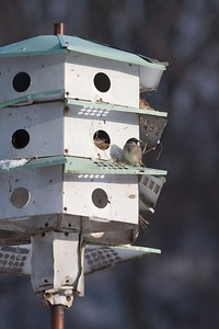 House Sparrows in Purple Martin nest box Nana's Galesburg IL IMG_0073000