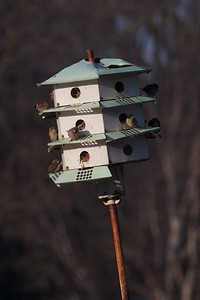 House Sparrows in Purple Martin Nest box house Galesburg IL IMG_5674