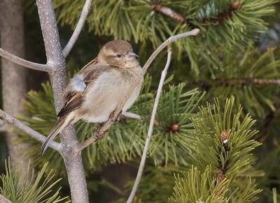 House Sparrow female Lake Superior Zoo Duluth MN IMG_4205