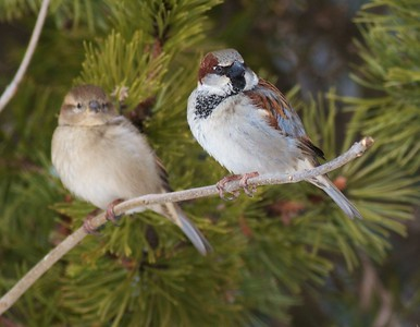 House Sparrows male female Lake Superior Zoo Duluth MN IMG_4187