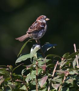 House Sparrow Nana's farm Galesburg IL IMG_0888