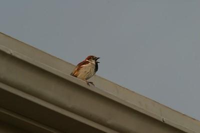 House Sparrow [April; Big Bend National Park, Texas]