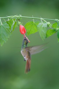Buff-bellied Hummingbird  visits a flower[April; Krenmueller Farms, Lower Rio Grande Valley, Texas]