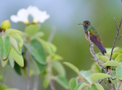Buff-bellied Hummingbird [April; Krenmueller Farms, Lower Rio Grande Valley, Texas]