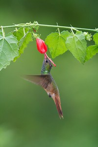 Buff-bellied Hummingbird  visits a flower [April; Krenmueller Farms, Lower Rio Grande Valley, Texas]