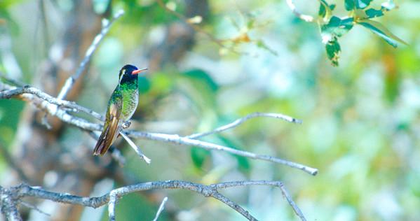 White-eared Hummingbird AZ SLIDE SCAN BIRDS-10